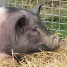 Less than 1% of Irish pigs live free ranging lives