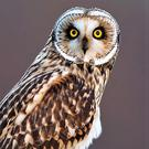 The Short-eared Owl has large, piercing, yellow eyes