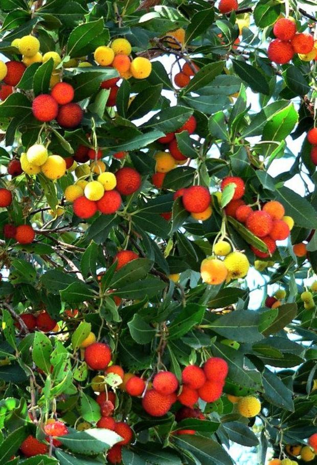 The Arbutus tree has strawberry-red, insipid-tasting fruits.
