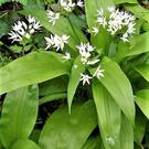 Ramsons is a wild garlic that carpets damp woodlands at this time of year.