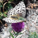 An unusual white butterfly spotted in the sand dunes