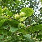 Hazel nuts ripening in their leafy cups