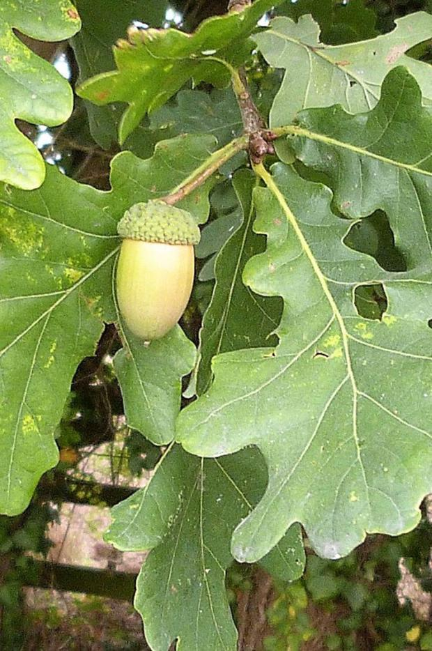 Acorns are objects of great natural beauty