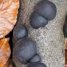King Alfred's Cakes are common black mushrooms found growing on fallen Ash branches.