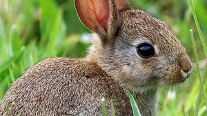 One month after being born, young rabbits are weaned from their mother's milk, are eating solid food and fending for themselves