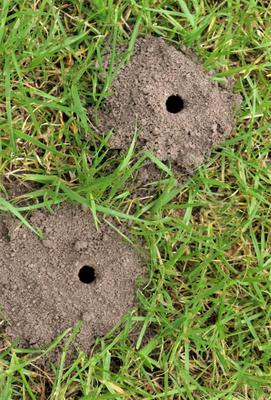 Little volcanoes of fine soil in your garden are caused by mining bees