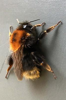 The recently-spotted Tree Bumblebee, a species new to Ireland