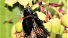 The flowers of Arbutus, the Strawberry Tree, a rare native, are a rich source of food for wild bees