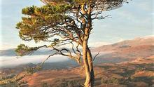 The lower branches of old Scots Pine trees die off leaving a bare trunk with the upper branches forming a flat crown