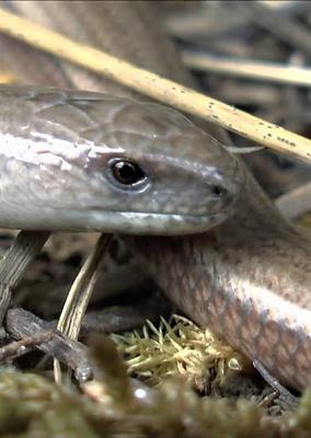The Slow-worm, Ireland's only 'snake'.