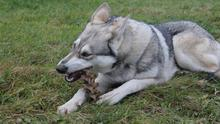Dogs are prone to eating items that irritate their digestive tract