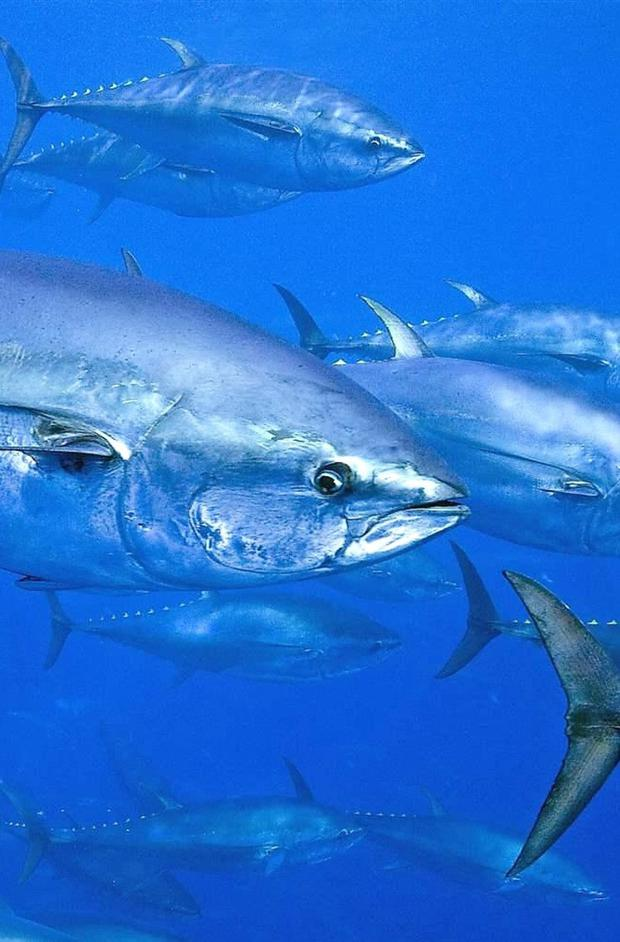 Big fish like Tuna need a lot of oxygen to fuel their large bodies.