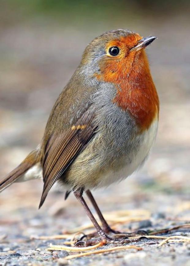 The cheerful little Robin is many people's favourite garden bird