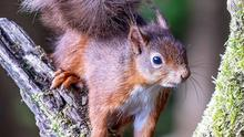 Game of Cones: Red Squirrel versus Grey Squirrel