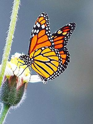 The Monarch is a very rare member of Ireland's butterfly fauna