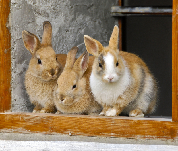 All pet rabbits should be vaccinated against viruses