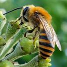 An Ivy Bee foraging on Ivy flowers