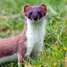 Unlike its British counterpart the Irish Stoat doesn't turn white in our mild winters