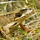 Adult frogs all know to come out of hibernation at the same time