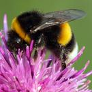Bumblebees will soon begin to emerge from hibernation