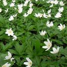 Wood Anemone is a woodland plant with large white flowers
