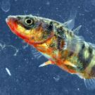 The Three-spined Stickleback is one of our most common wild fishes