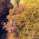 As they fade, the pink flowers of Mackay's Heath turn bright orange