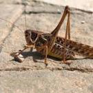 Crickets are fast becoming the new cool protein source