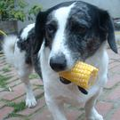 Corn-on-the-cob can cause a serious digestive disorder for dogs