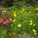Dahlia, rose, Anemone, Erysimum in November bloom