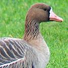 Some 8,500 Greenland White-fronted Geese winter on the Wexford Slobs each year making the area hugely important for the species