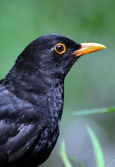 The male Blackbird has a narrow yellow eye-ring in addition to its yellow bill. Blackbirds were once eaten though their meat is said to be rather bitter.