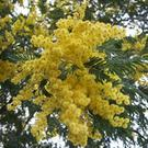Acacia dealbata - mimosa in flower