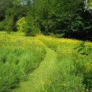 Grass path through buttercups