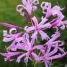 Plant of the week: Nerine bowdenii