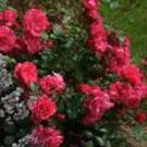 Plant of the week: Rosa 'Wiltshire'