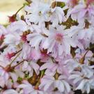 Prunus x subhirtella 'Autumnalis Rosea' - winter flowering cherry