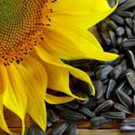 Sunflowers are among the sources of essential fatty acids