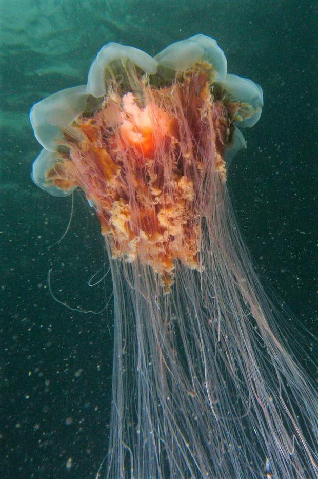 The Lion's Mane is the largest known species of jelly fish in the world