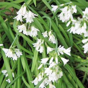 Three-cornered Garlic may be seen at this time of year clothing stretches of wayside verge