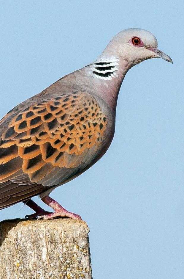 The European Turtle Dove is a symbol of love and devotion