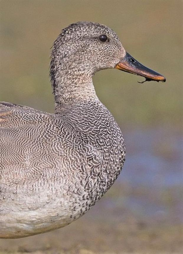 Male Gadwall in breeding plumage display a striking pattern on their breasts