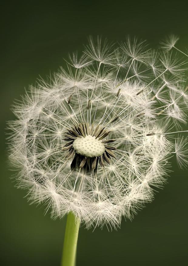 Dandelion clocks are objects of great natural beauty, design and perfection