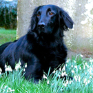 Half of all flat coated retrievers die from hereditary cancer