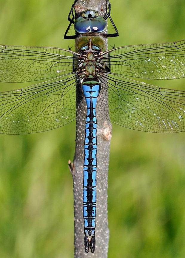 The Emperor, our largest dragonfly, was first recorded in Ireland in 2000 and continues to expand its range