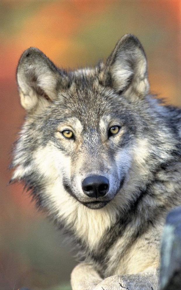 Grey Wolf packs once roamed the Irish countryside