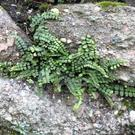 Maidenhair Spleenwort is a very common and widespread fern
