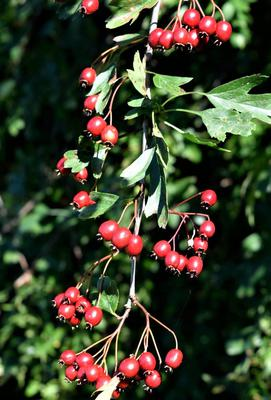Many Hawthorns are laden with a fine display of bright red haws