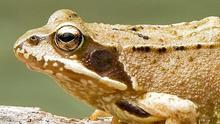 Frogs have emerged and are congregating at traditional breeding ponds