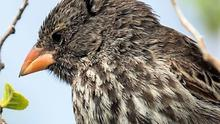 One of the Galapagos finches that contributed to the formulation of the Theory of Evolution